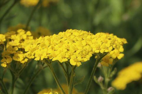 Teppich-Garbe 'Aurea' - Achillea tomentosa 'Aurea'