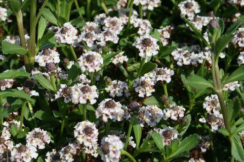 Teppich-Verbene / Kriechende Teppichverbene - Phyla nodiflora
