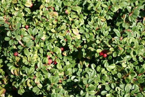 Teppichmispel / Zwergmispel 'Queen of Carpets' - Cotoneaster procumbens 'Queen of Carpets'
