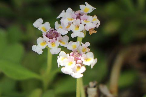 Teppichverbene 'Summer Pearls' - Phyla nodiflora 'Summer Pearls'