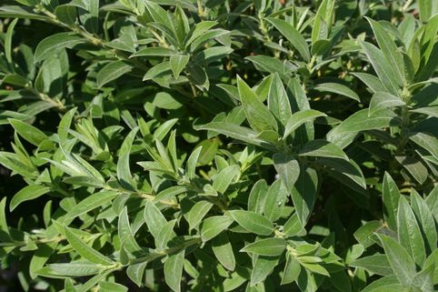 Teppichweide - Salix simulatrix