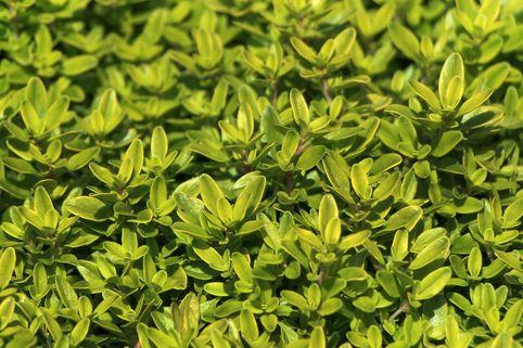 Thymian 'Aureus' - Thymus pulegioides 'Aureus'