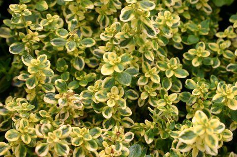 Thymian 'Golden Dwarf' - Thymus x citriodorus 'Golden Dwarf'