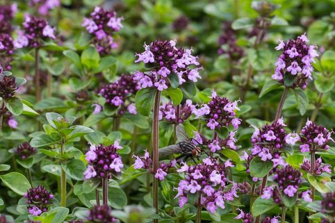 Thymian 'Tabor' - Thymus vulgaris 'Tabor'