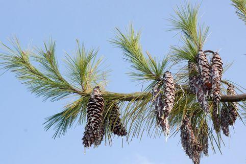 Tränenkiefer - Pinus wallichiana