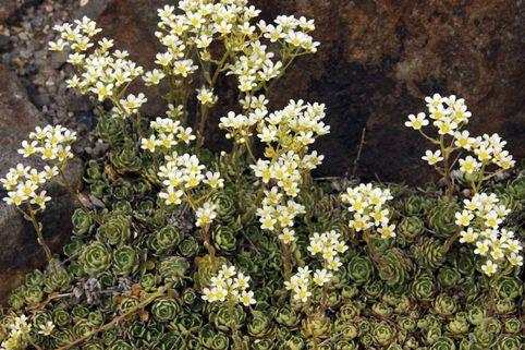 Trauben Steinbrech - Saxifraga paniculata subsp. brevifolia
