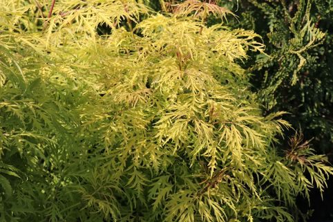 Traubenholunder 'Golden Lace' ® - Sambucus racemosa 'Golden Lace' ®