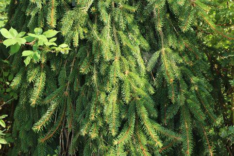Trauer-Hängefichte 'Inversa' - Picea abies 'Inversa'