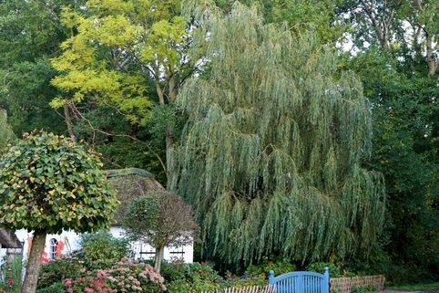 Trauerweide / Hängeweide 'Chrysocoma' - Salix sepulcralis 'Chrysocoma'
