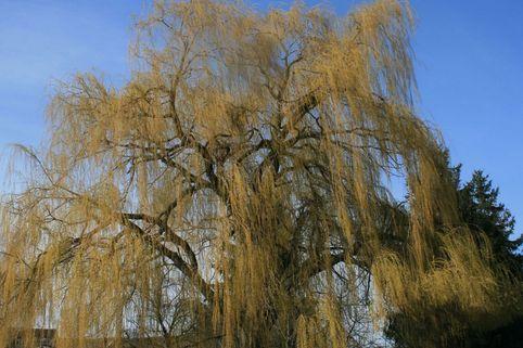 Trauerweide 'Tristis Resistenta' - Salix alba 'Tristis Resistenta'