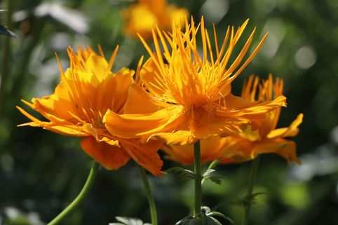 Trollblume 'Golden Queen' - Trollius chinensis 'Golden Queen'