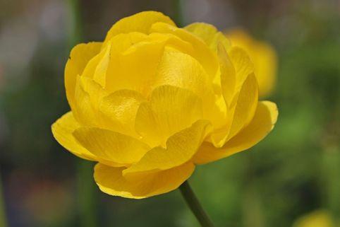Trollblume 'Lemon Queen' - Trollius x cultorum 'Lemon Queen'