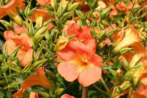 Trompetenblume grandiflora - Campsis grandiflora