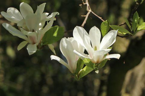 Tulpenmagnolie 'Alba Superba' - Magnolia soulangiana 'Alba Superba'