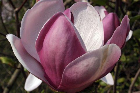 Tulpenmagnolie 'Lennei' - Magnolia soulangiana 'Lennei'
