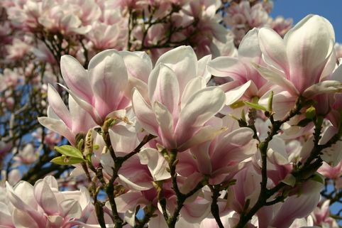 Tulpenmagnolie - Magnolia x soulangiana