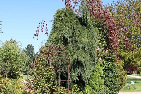 Überhängender Mammutbaum 'Pendulum' - Sequoiadendron giganteum 'Pendulum'
