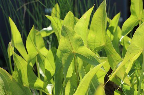 Veränderliches Pfeilkraut - Sagittaria latifolia