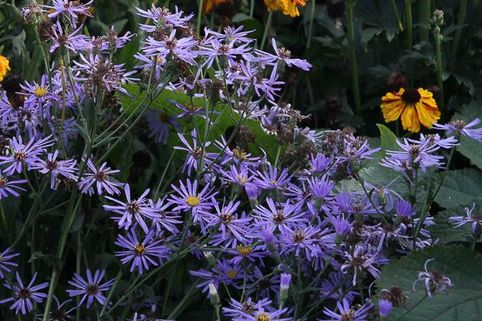 Vermischte-Aster 'Twilight' - Aster x herveyi 'Twilight'