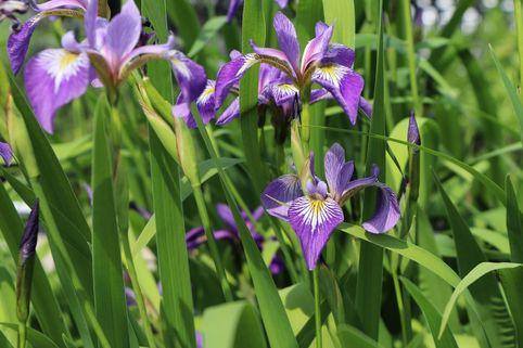 Verschiedenfarbige Sumpf-Schwertlilie - Iris versicolor