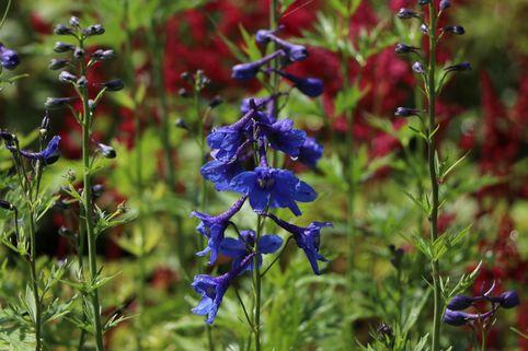 Verzweigter Rittersporn 'Bellamosum' - Delphinium x belladonna 'Bellamosum'