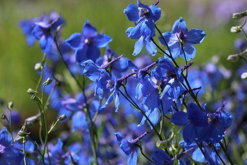Verzweigter Rittersporn 'Piccolo' - Delphinium x belladonna 'Piccolo'