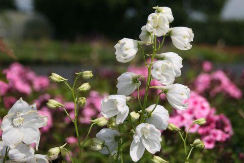 Verzweigter Rittersporn 'Schneewittchen' - Delphinium x belladonna 'Schneewittchen'