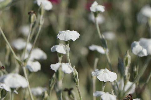 Weißblühende Vexiernelke 'Alba' - Lychnis coronaria 'Alba'