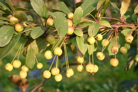 Vielblütiger Zierapfel floribunda - Malus floribunda