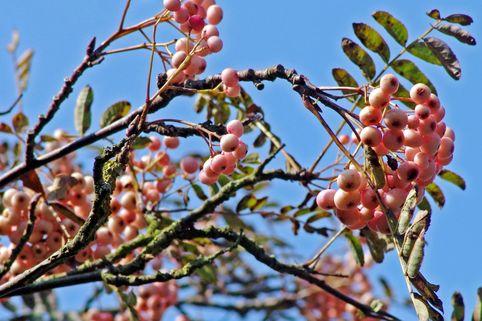 Vielfiedrige Eberesche - Sorbus vilmorinii