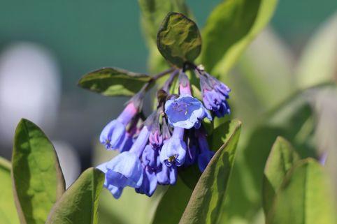 Virginisches Blauglöckchen - Mertensia virginica