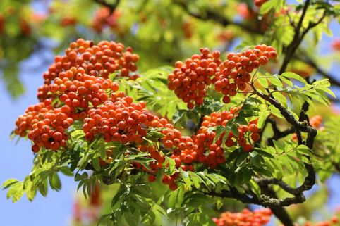 Vogelbeere / Eberesche 'Rosina' - Sorbus aucuparia 'Rosina'