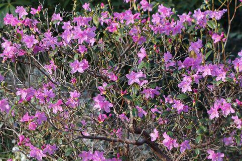 Vorfrühlings-Alpenrose 'Praecox' / Rhododendron 'Praecox' - Rhododendron 'Praecox'