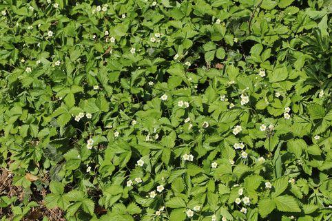 Wald Erdbeere - Fragaria vesca var. vesca