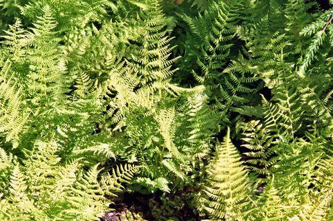 Wald-Frauenfarn - Athyrium filix-femina