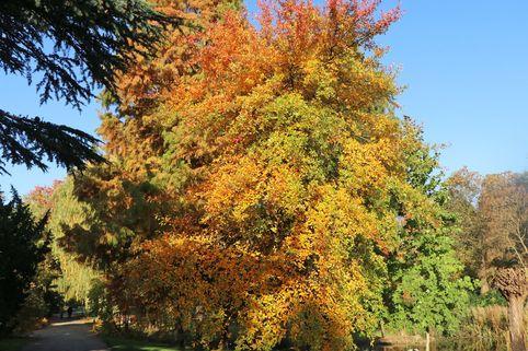 Wald-Tupelobaum - Nyssa sylvatica