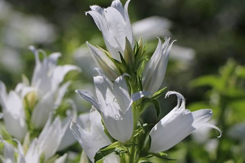 Waldglockenblume 'Alba' - Campanula latifolia var. macrantha 'Alba'