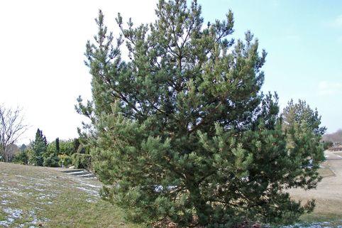 Waldkiefer 'Norske Typ' - Pinus sylvestris 'Norske Typ'