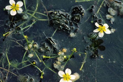 Wasser-Hahnenfuß - Ranunculus aquatilis