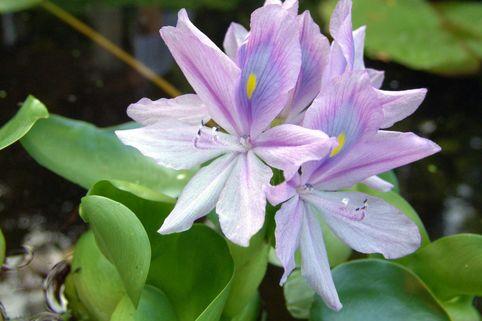Wasser-Hyazinthe - Eichhornia crassipes