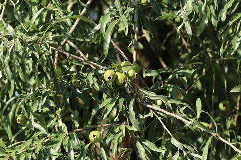 Weidenblättrige Birne - Pyrus salicifolia