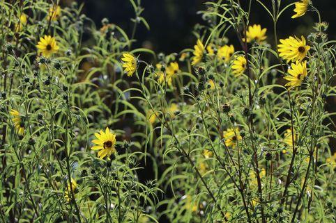 Klafterlange Sonnenblume - Helianthus orgyalis