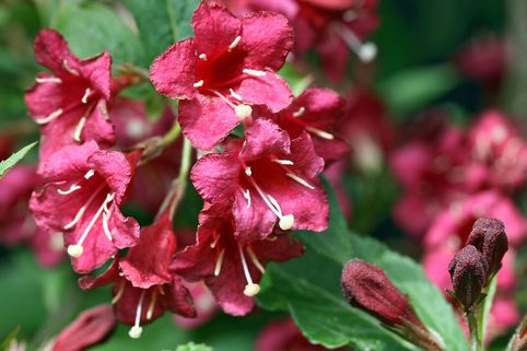 Weigelie 'Newport Red' - Weigela 'Newport Red'