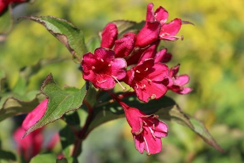 Weigelie 'Red Prince' - Weigela 'Red Prince'