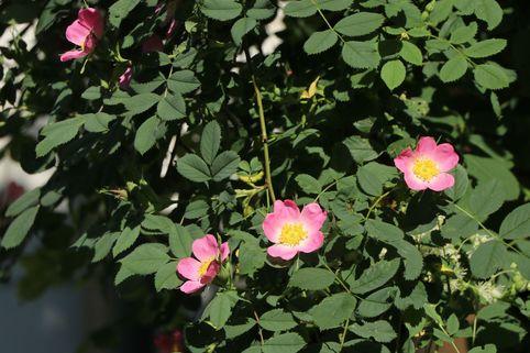 Weinrose / Schottische Zaunrose - Rosa rubiginosa