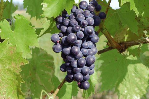 Weintraube 'Dornfelder' ® - Vitis 'Dornfelder' ®