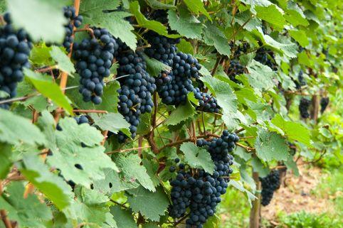 Weintraube 'Solara' - Vitis 'Solara'