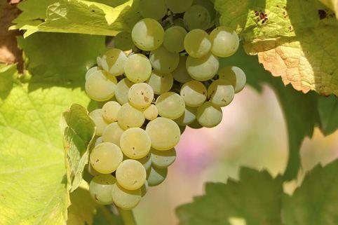 Weintraube 'Solaris' - Vitis vinifera 'Solaris'