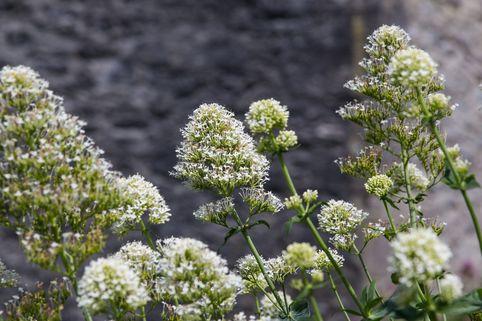 Weißblühende Spornblume 'Albus' - Centranthus ruber 'Albus'
