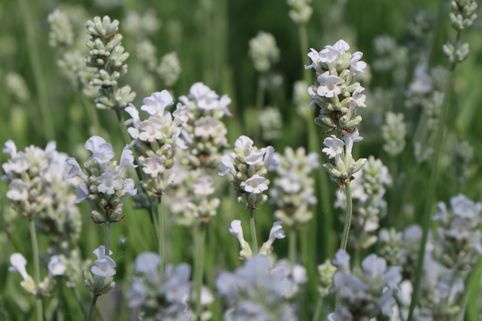Weißblühender Lavendel 'Arctic Snow' - Lavandula angustifolia 'Arctic Snow'